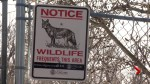 Calgary city councillor wants more research on co-existing with coyotes